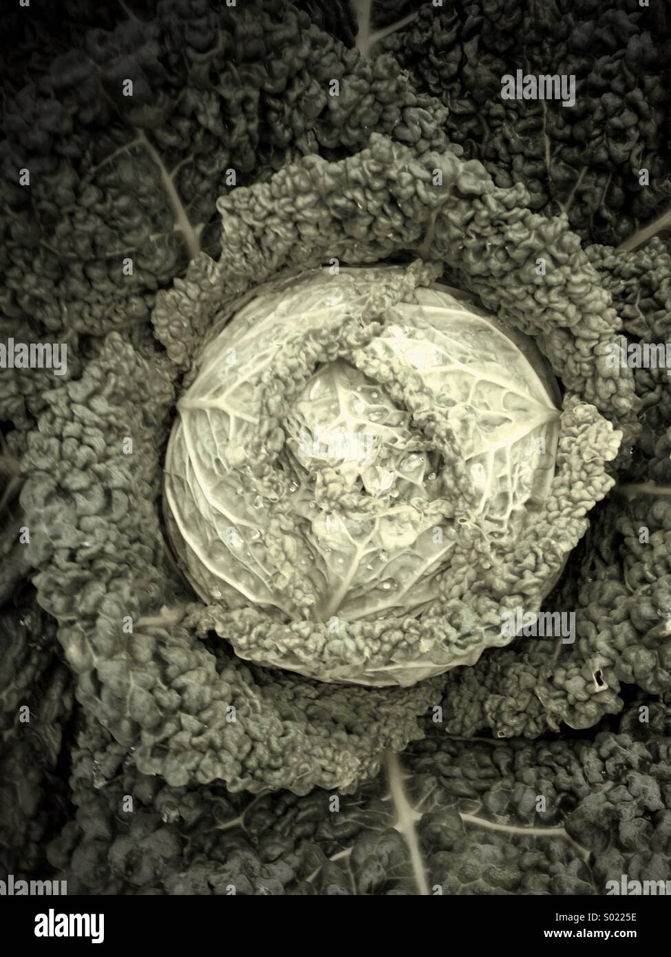 Cabbage ready for harvest - Stock Image