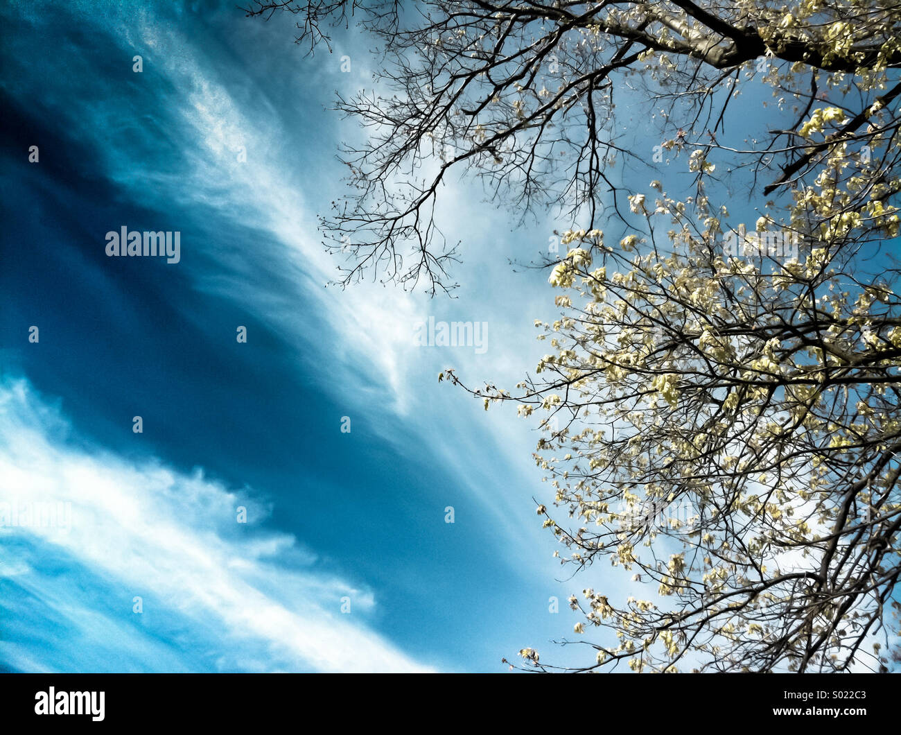 A blue cloudy sky and a blooming tree - Stock Image