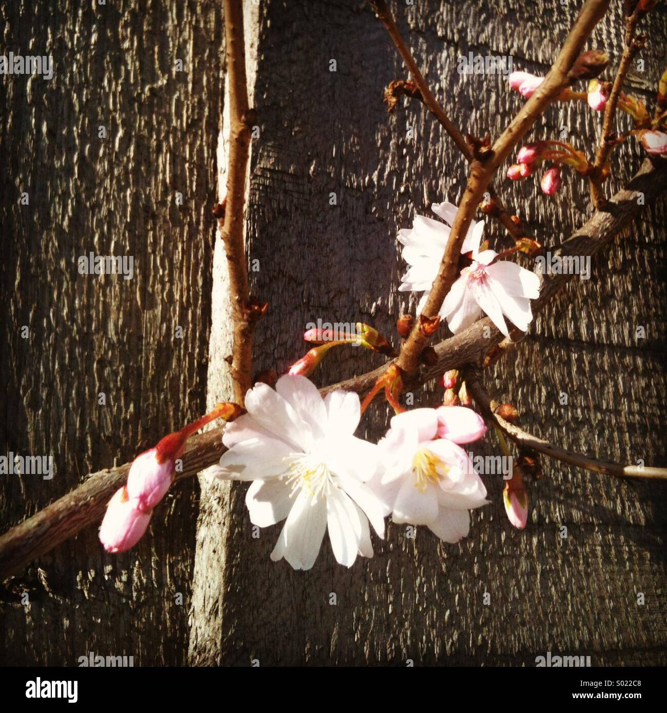 Cherry Blossoms Against Wooden Fence - Stock Image