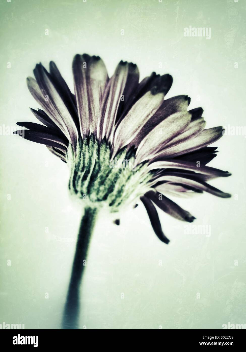 Gerbera flower with grunge effect. - Stock Image