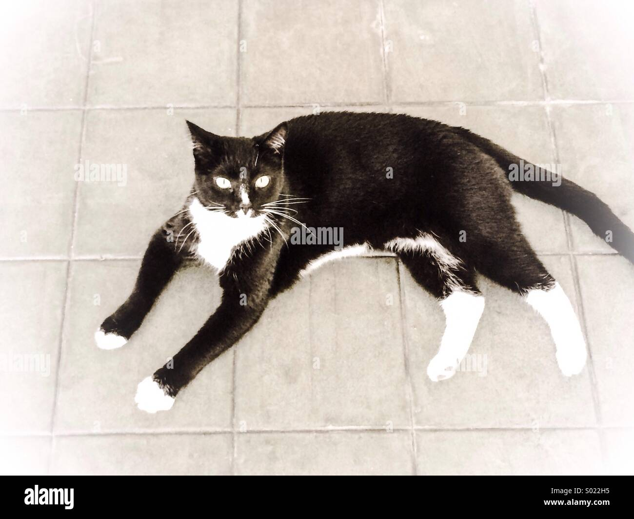 Tuxedo cat - Stock Image