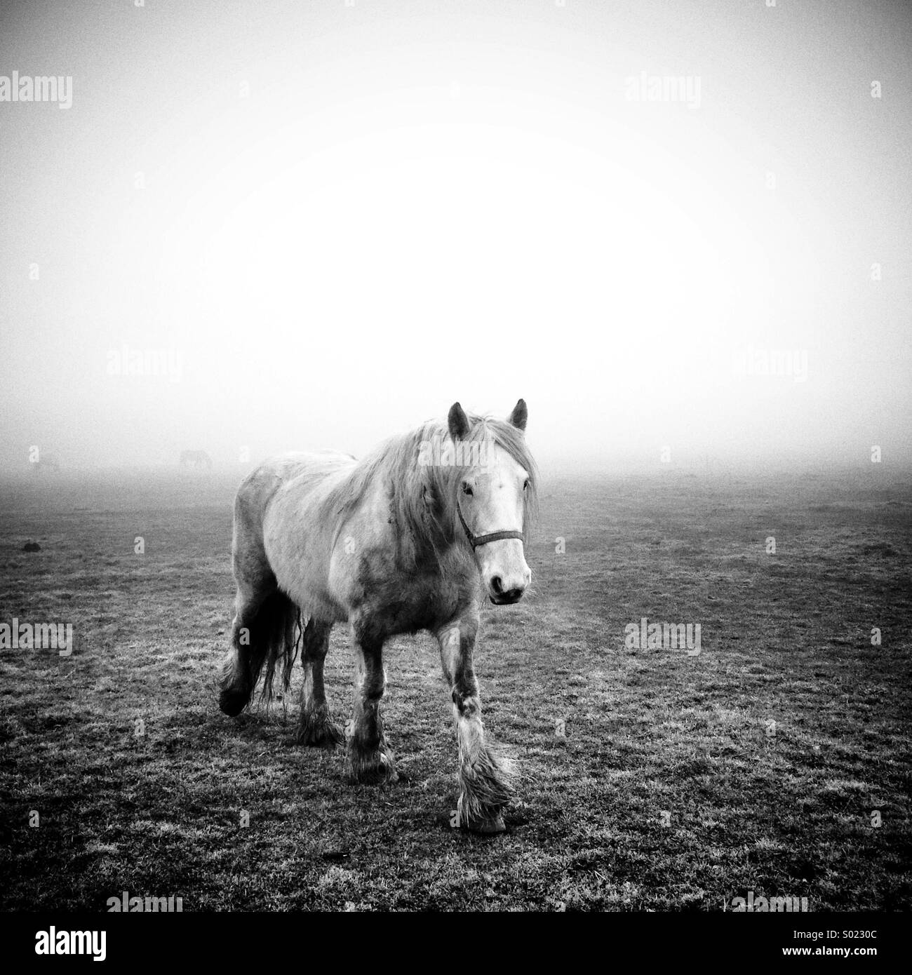 Lonely white horse striding forwards on a foggy Lincoln West Common with two other horses in the distant mist - Stock Image