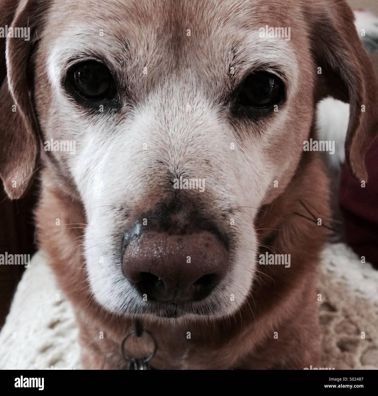 Close up of a beagle mix dog - Stock Image
