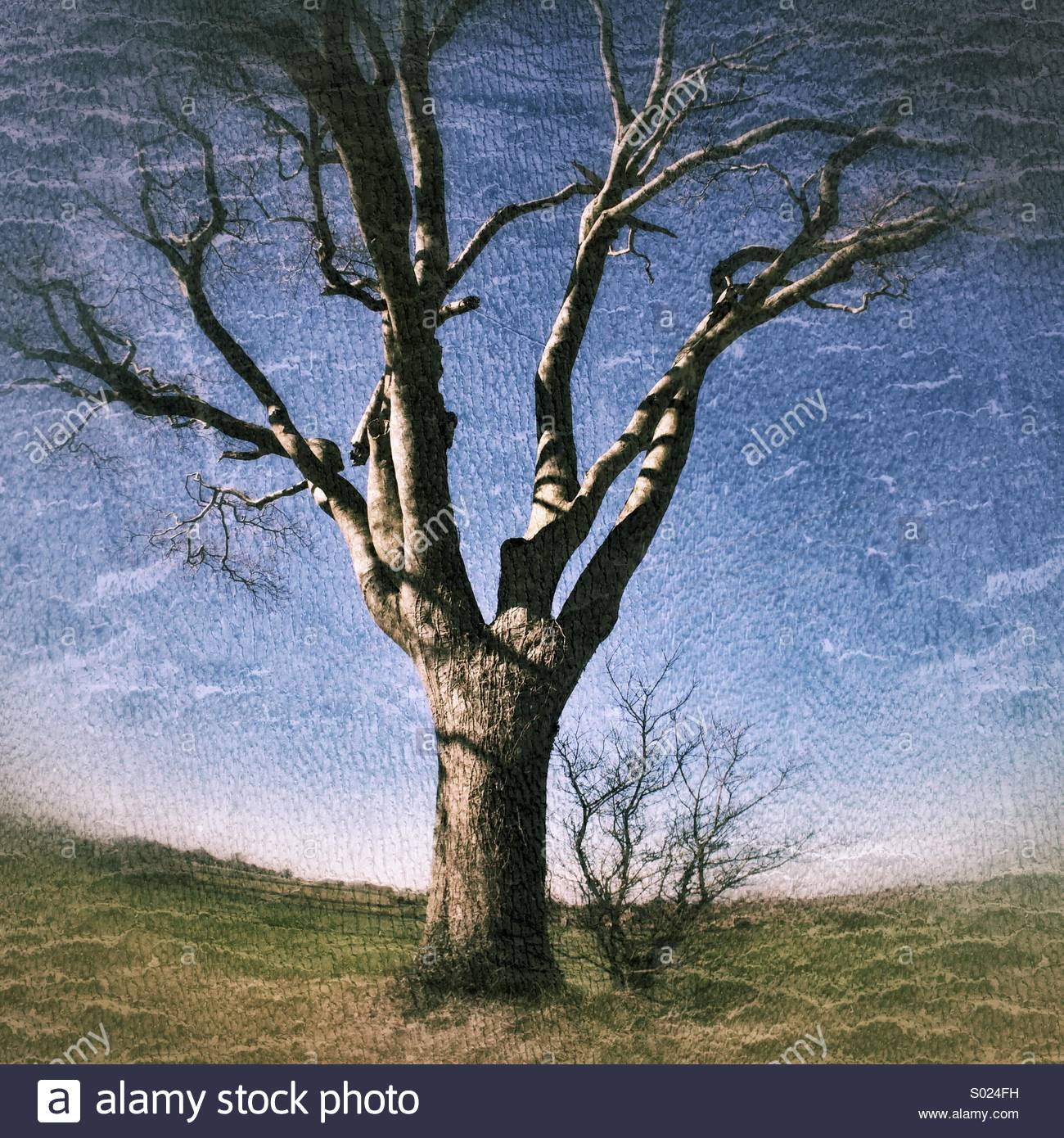 Solitary Bare Tree, no Leaves - Stock Image