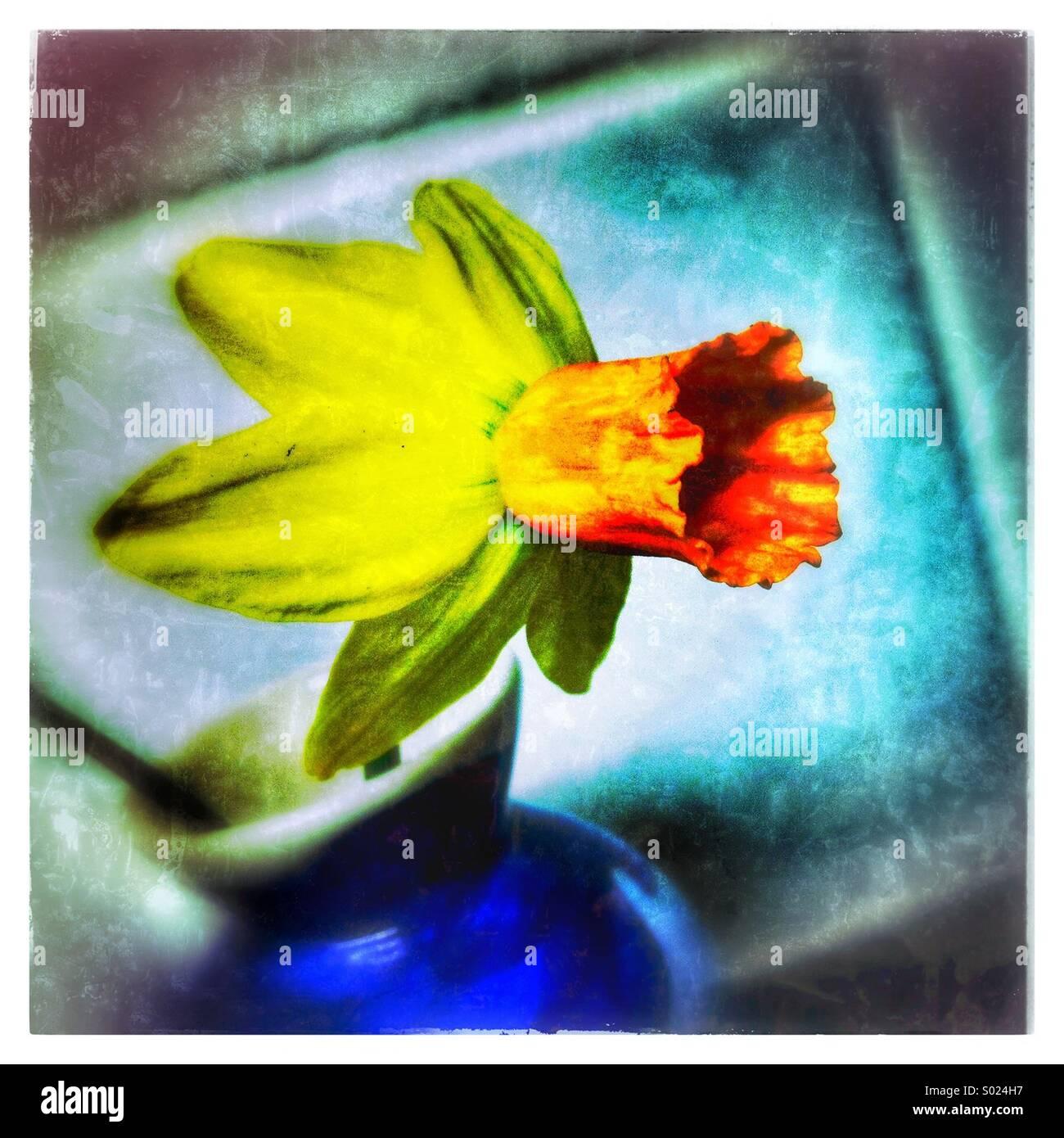 Daffodil in Blue Vase - Stock Image