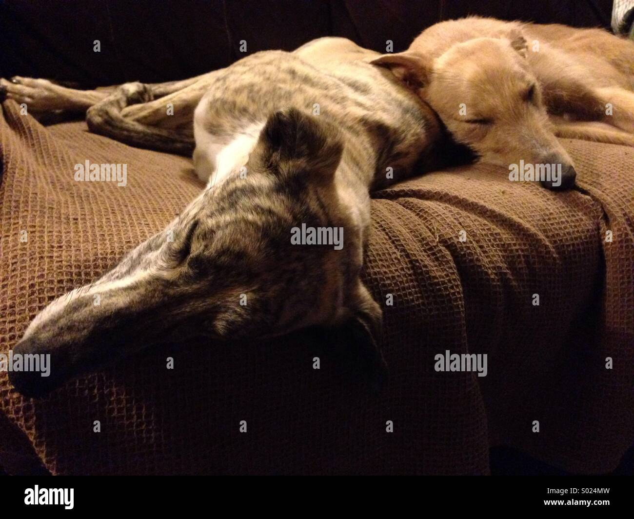 Two sleeping lurcher dogs - Stock Image