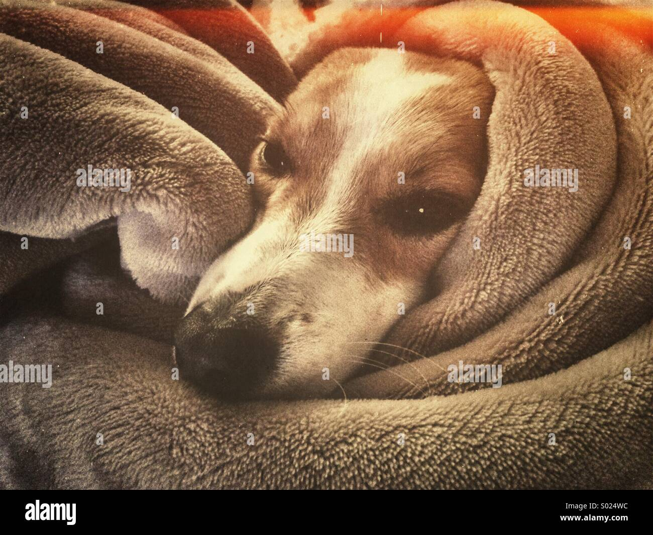 Dog wrapped in blanket - Stock Image