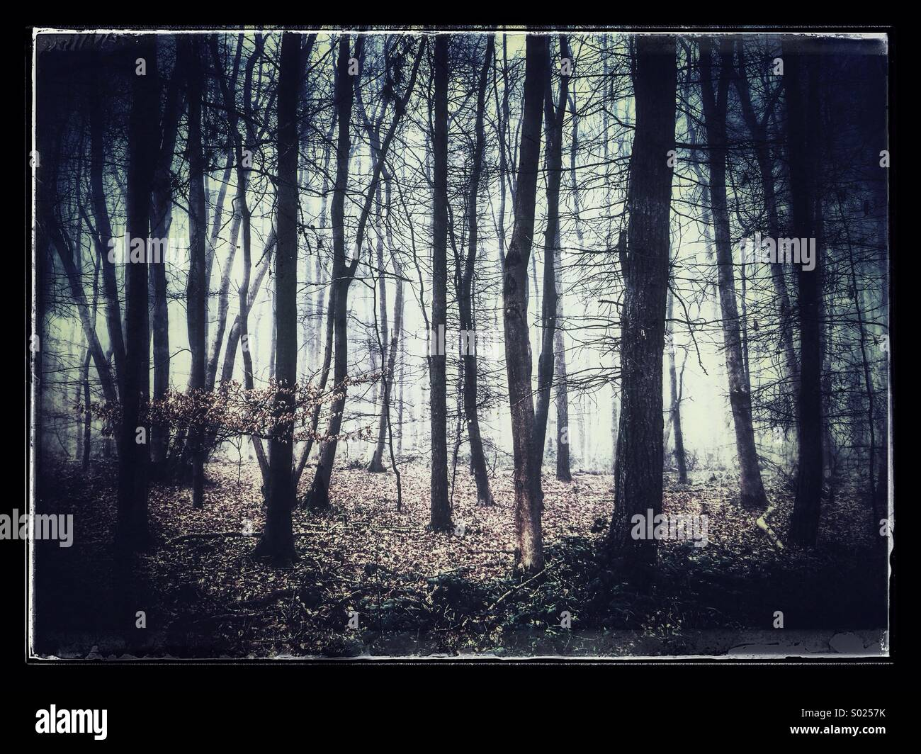 Ancient U.K woodland - Stock Image
