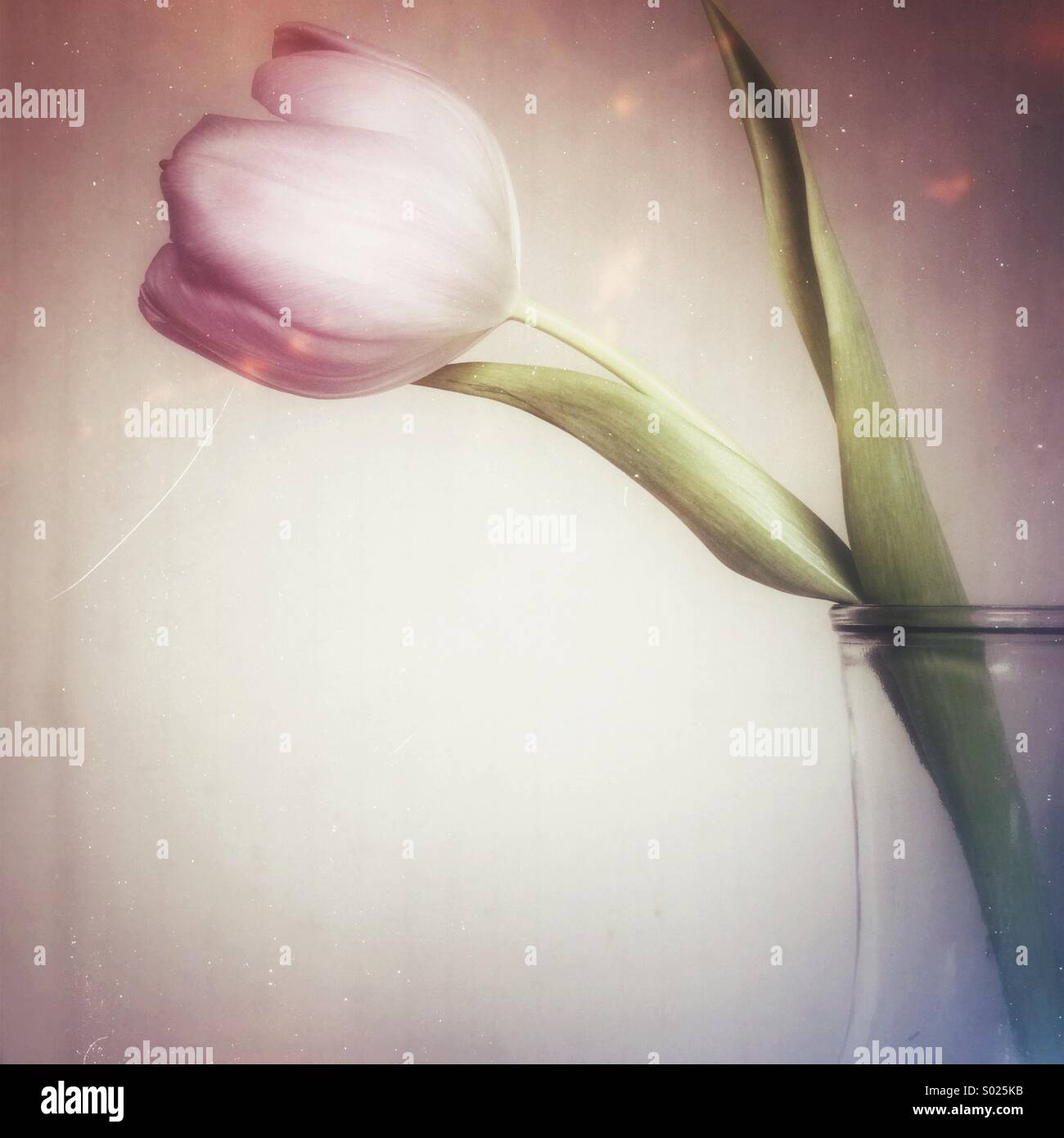 Tulip in glass vase - Stock Image