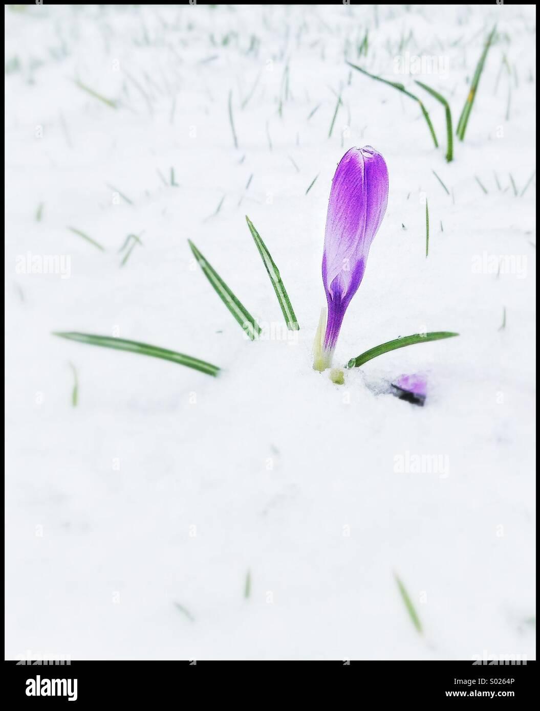 Crocus flower in snow - Stock Image