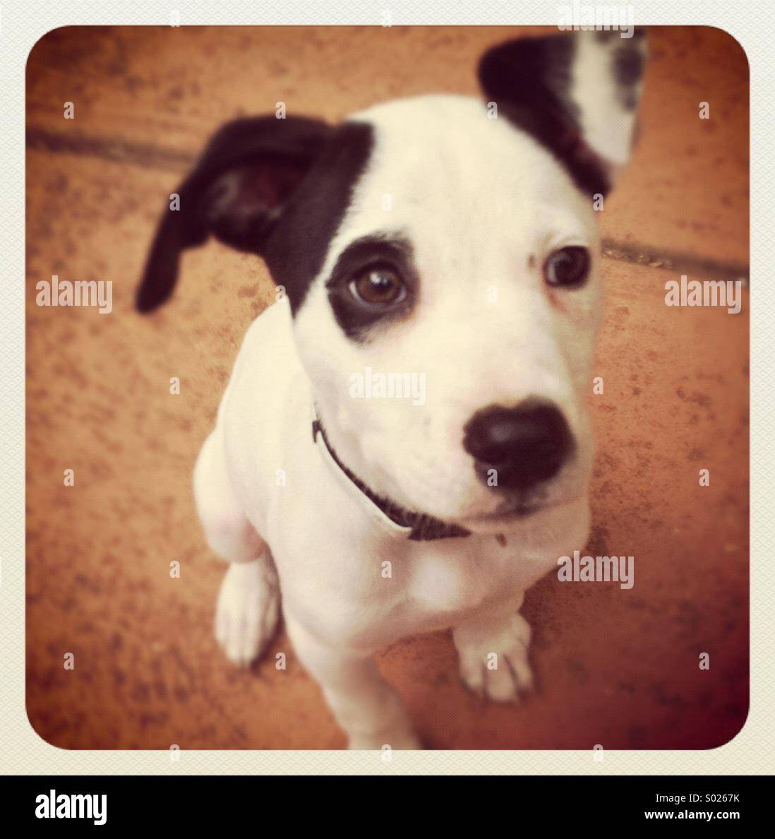Black and White American Staffy cross puppy with black eye patch - Stock Image