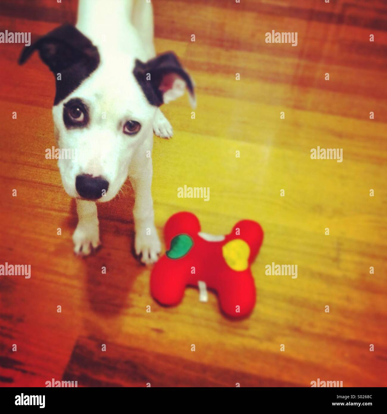 Black and white puppy with red toy - Stock Image