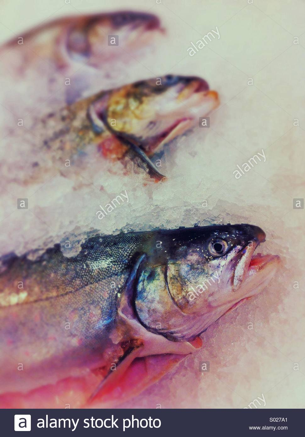 Whole fresh Arctic Char fish on ice in a local fish market, Vancouver, BC, Canada. - Stock Image