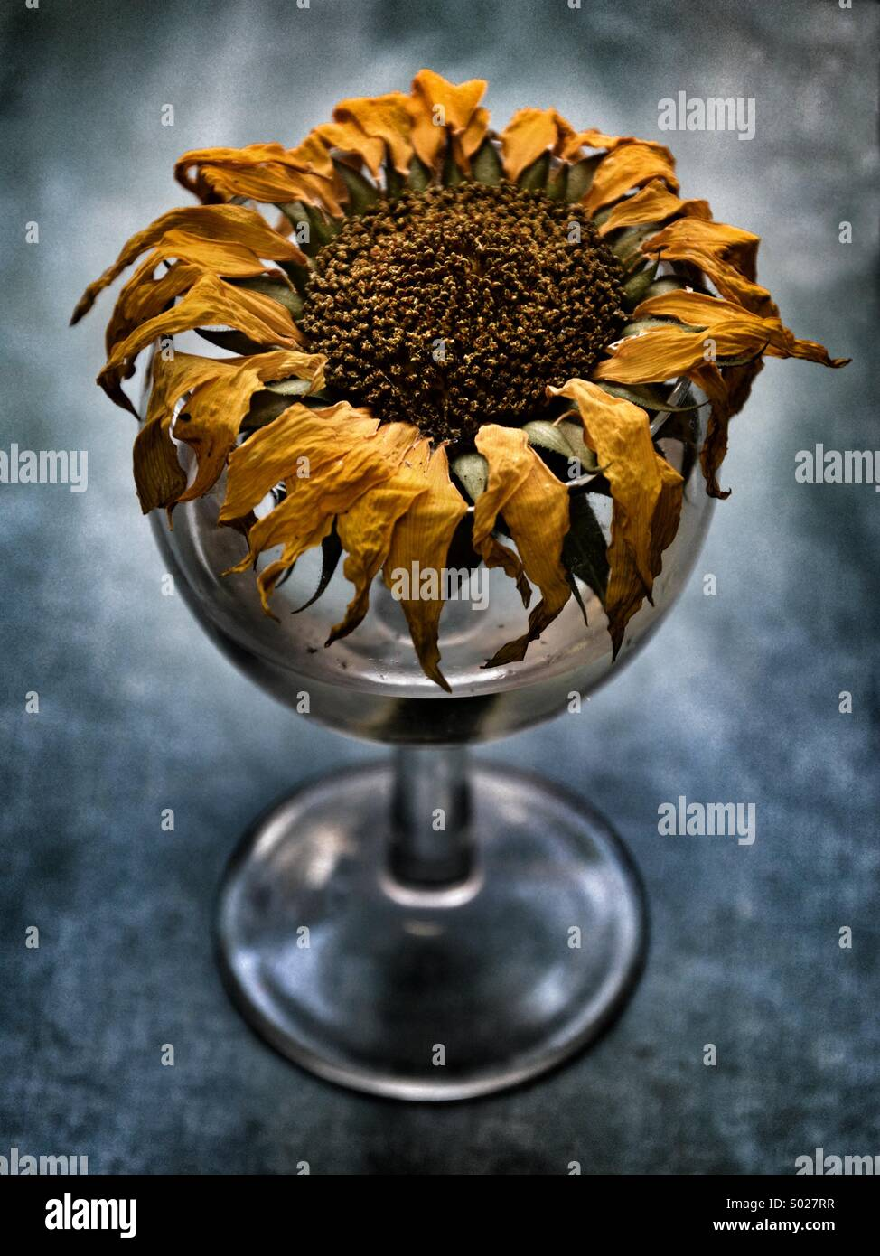 Parched, thirsty sunflower in a glass of water. - Stock Image