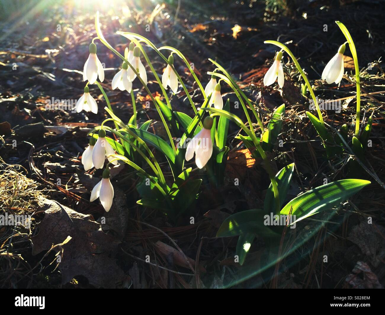 Snowdrops in bloom, an early spring flower. - Stock Image