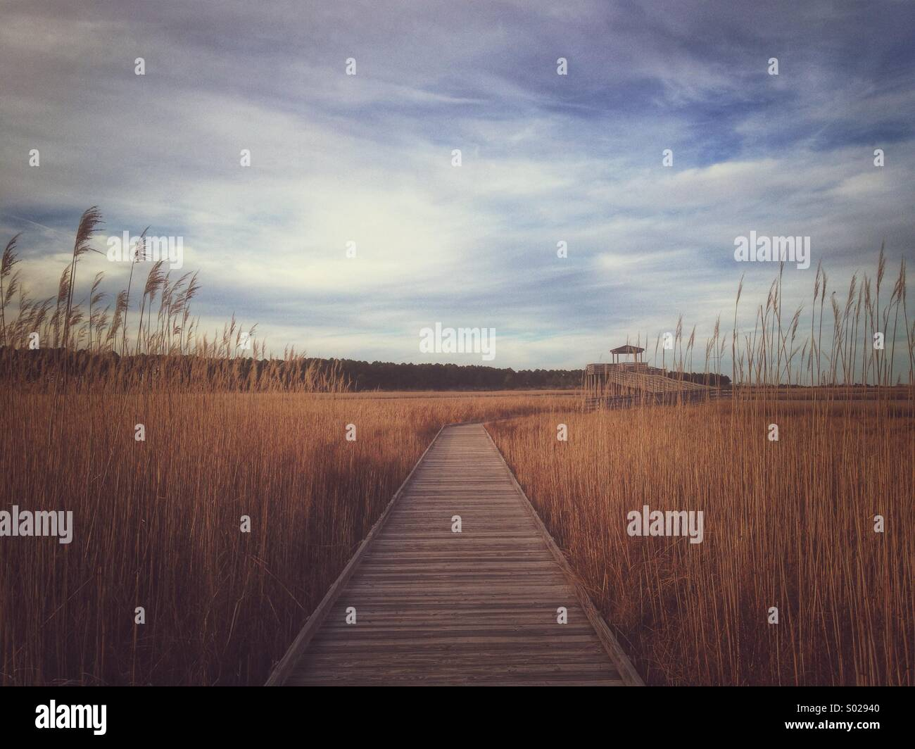 An elevated wooden walk way winds through winter wetlands - Stock Image