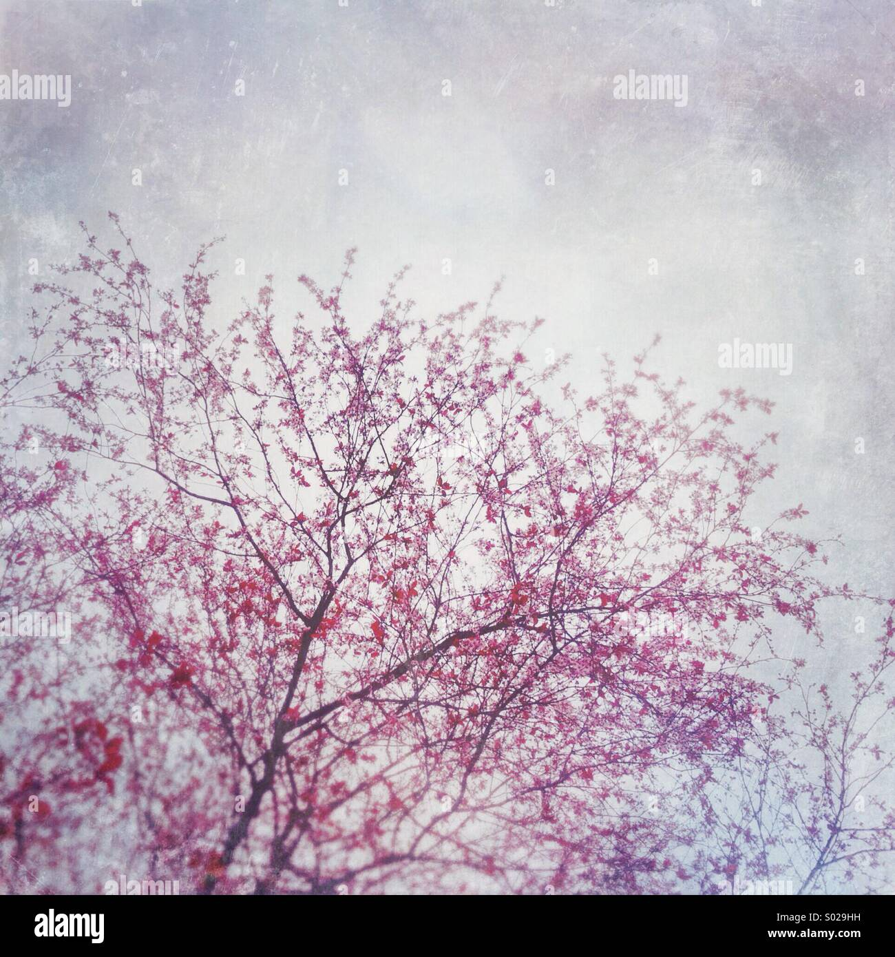 Spring pink cherry blossoms against a bright overcast sky. Stock Photo