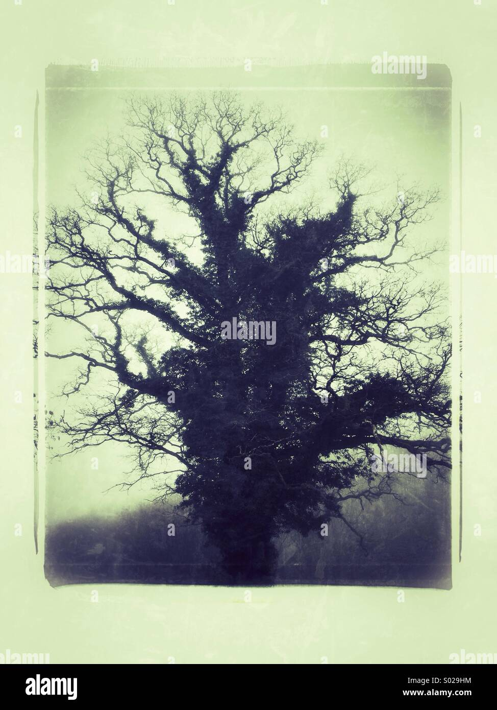 Ancient Oak Tree in The Mist - Stock Image