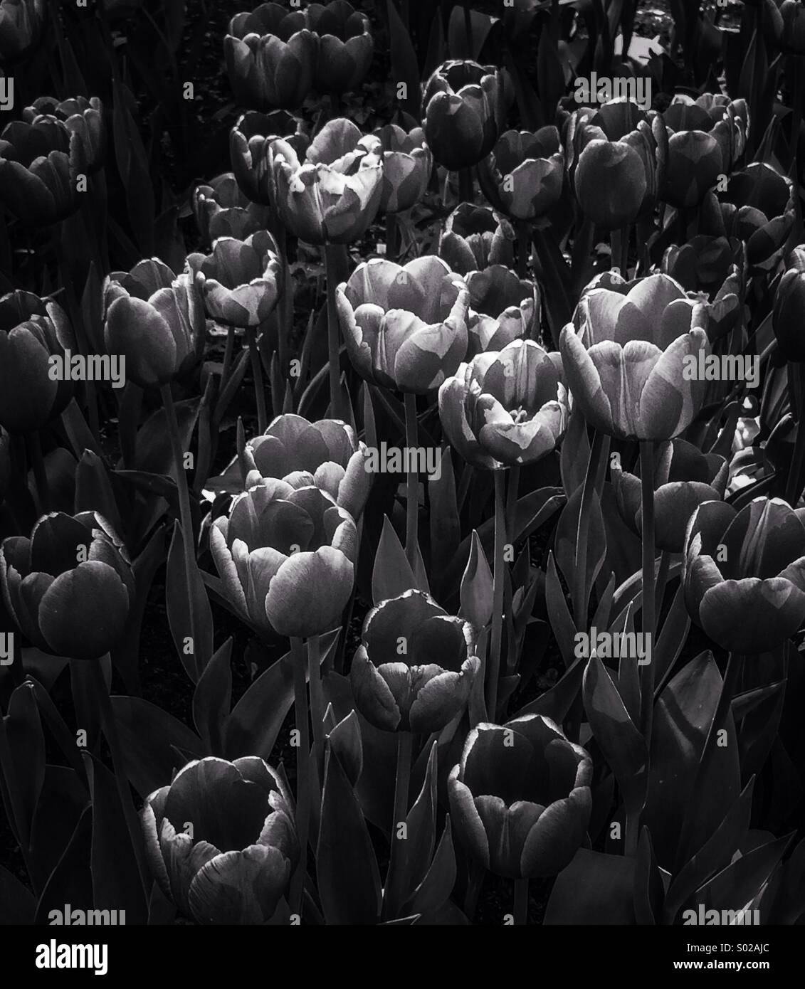 Black and white tulips - Stock Image