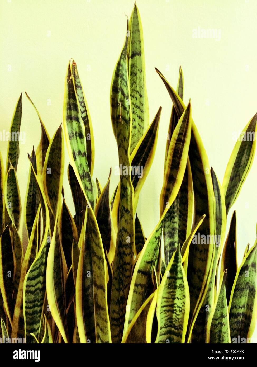 Indoor plant - Stock Image