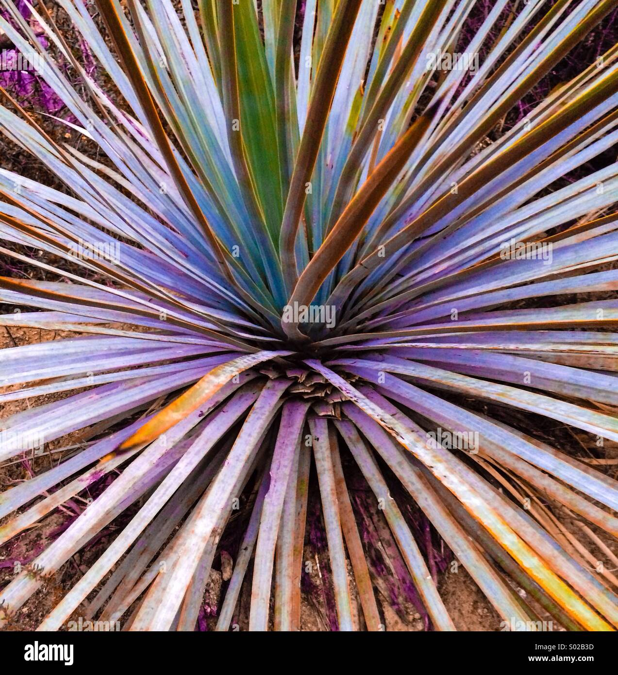 Yucca plant - Stock Image