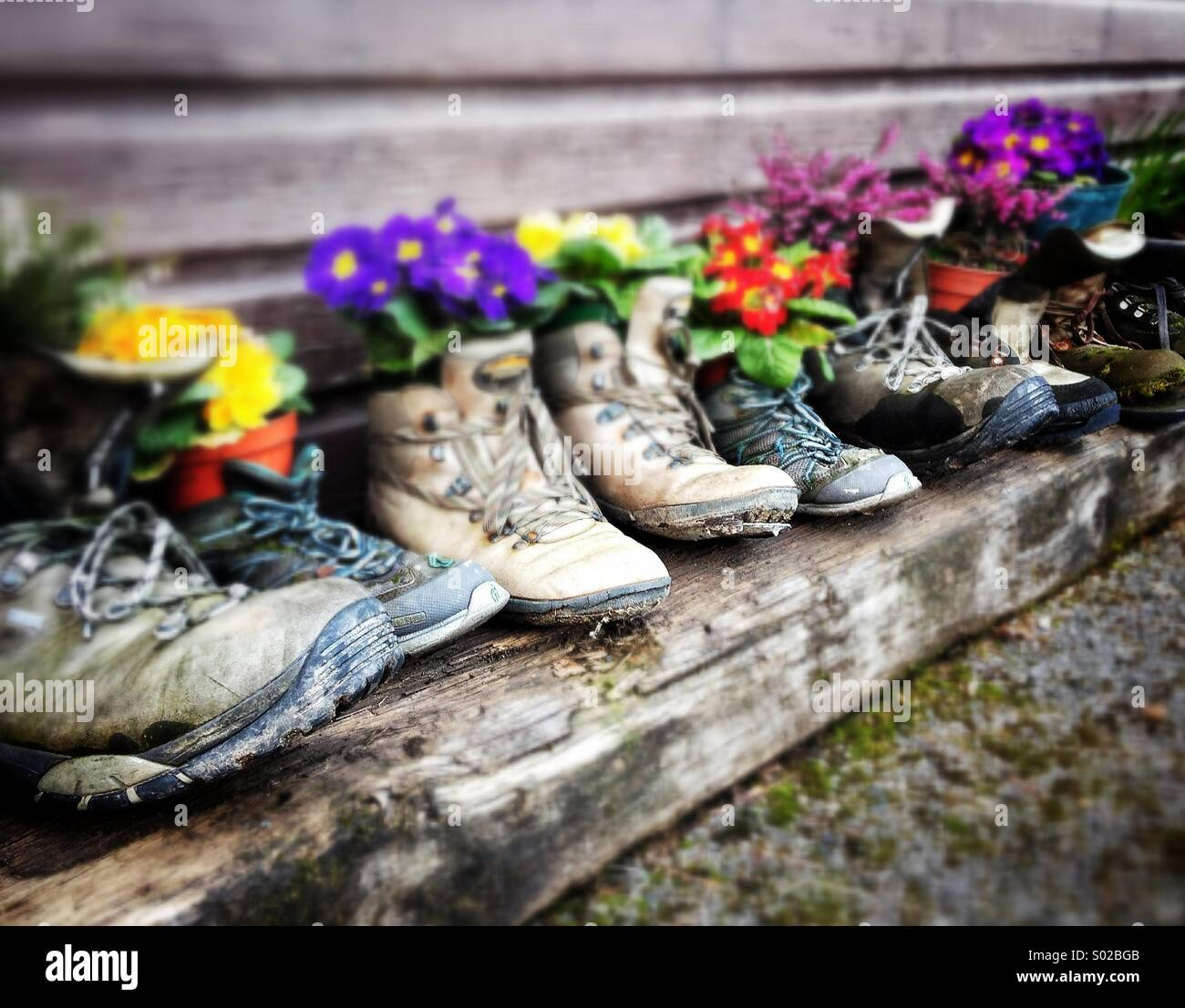 Flowers in old walking boots - Stock Image