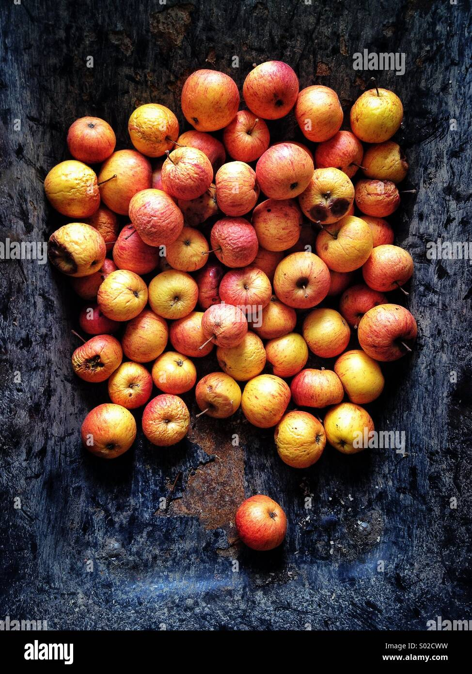 Rotting apples in metal wheelbarrow - Stock Image