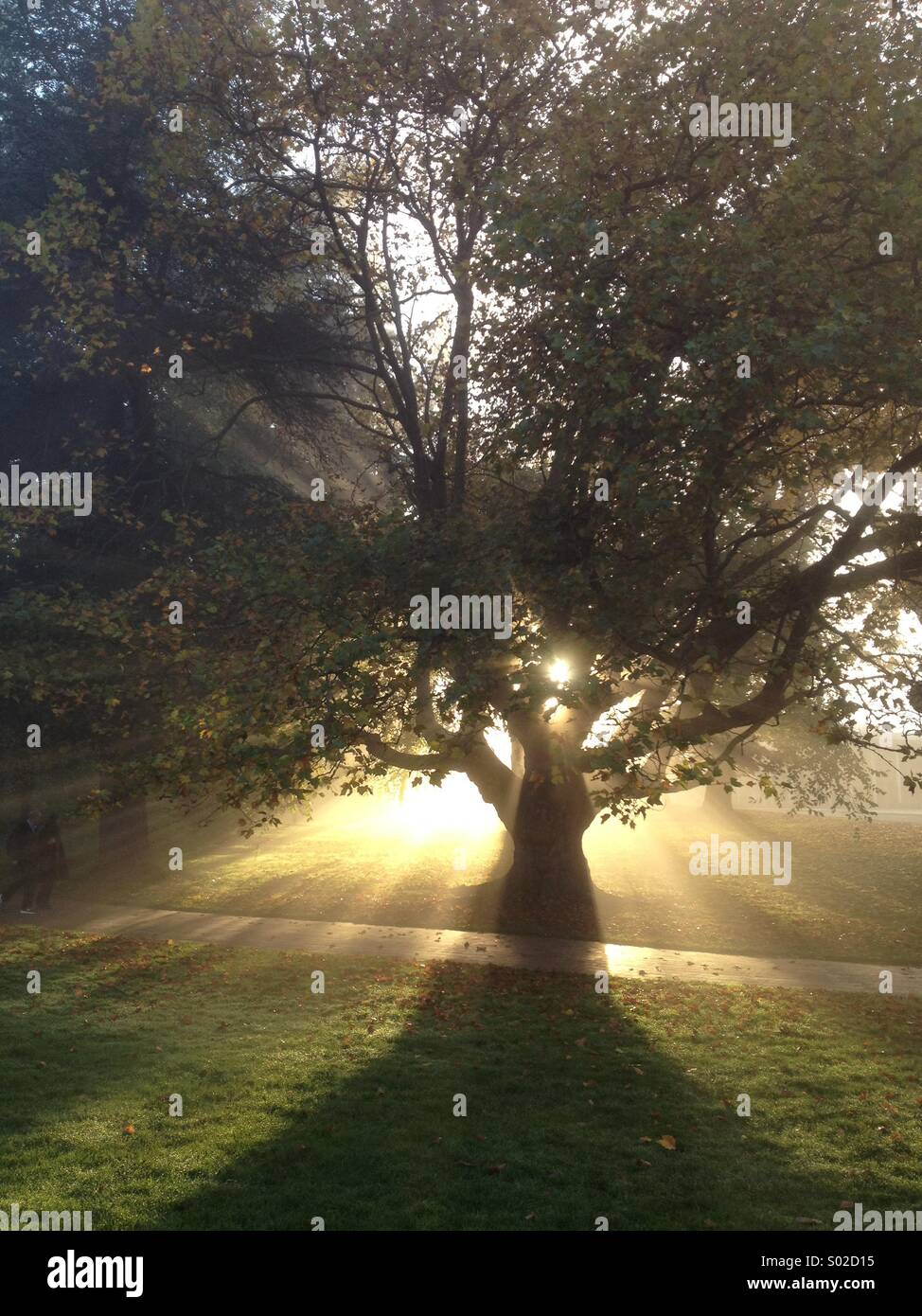 Golden sun rays beaming through the leaves of a tree - Stock Image