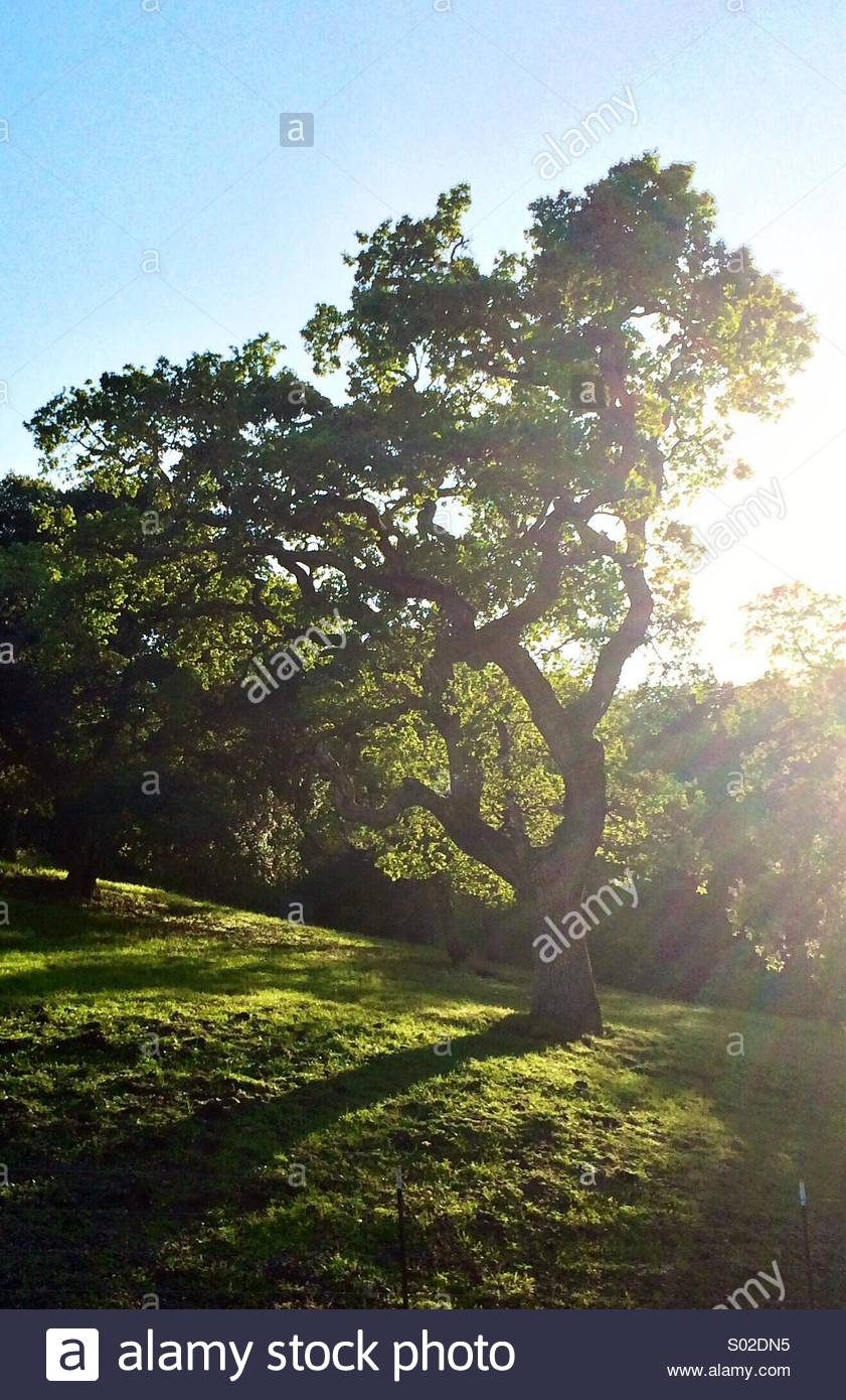 Majestic Oak - Stock Image