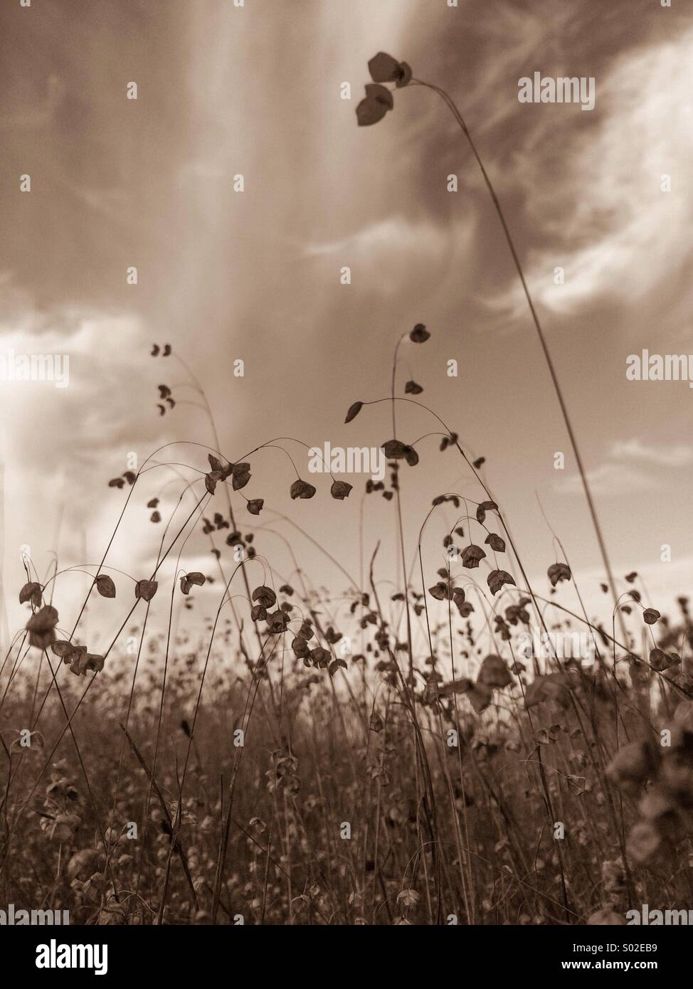 Sepia field from below - Stock Image