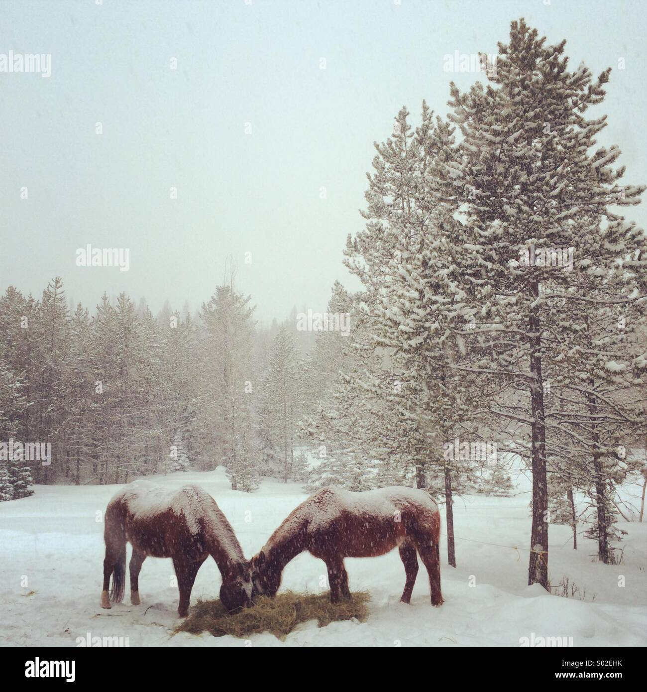 Montana horses covered in snow. - Stock Image