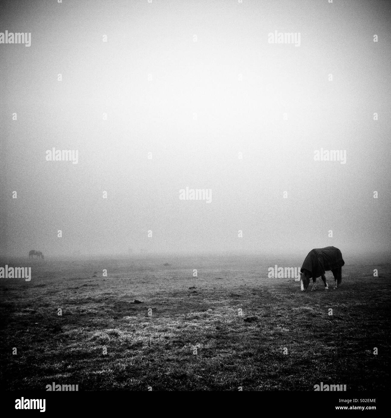 2 horses grazing on a blank flat landscape with others just visible in the distance through the fog - Stock Image