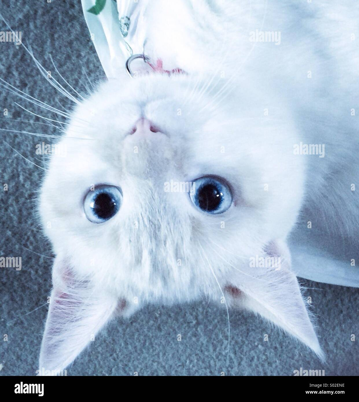 Upside down kitten with blue eyes - Stock Image