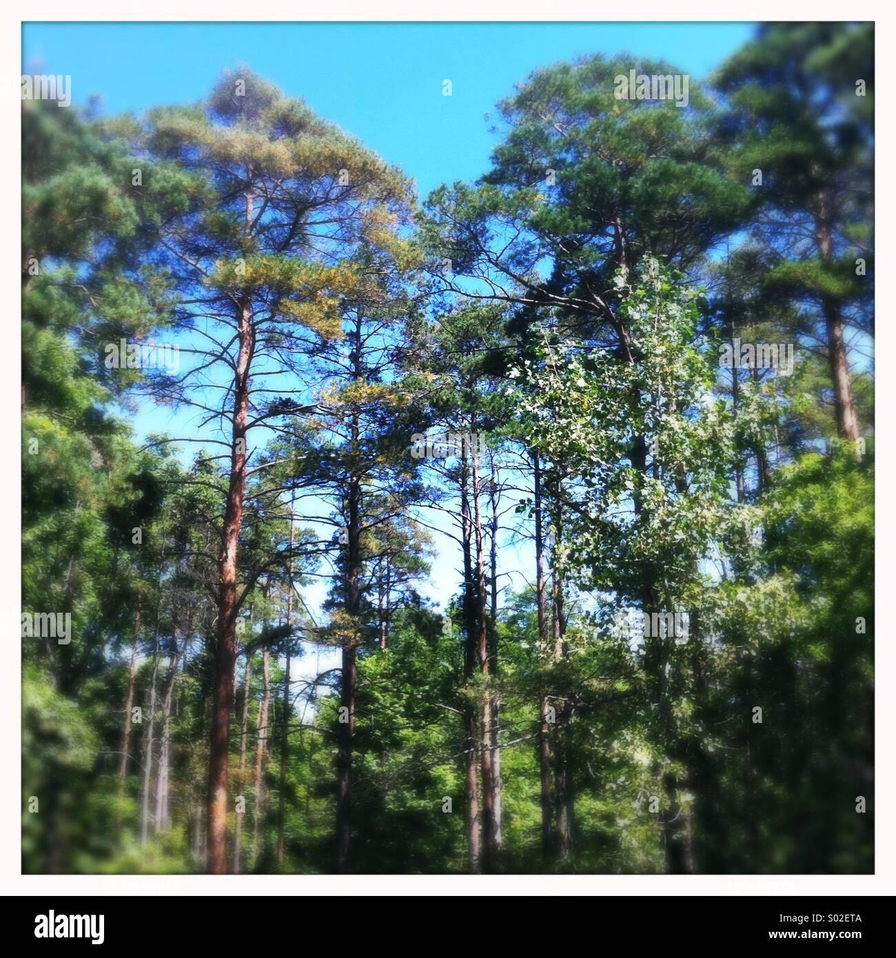 Pine Forest, Ontario, Canada Stock Photo