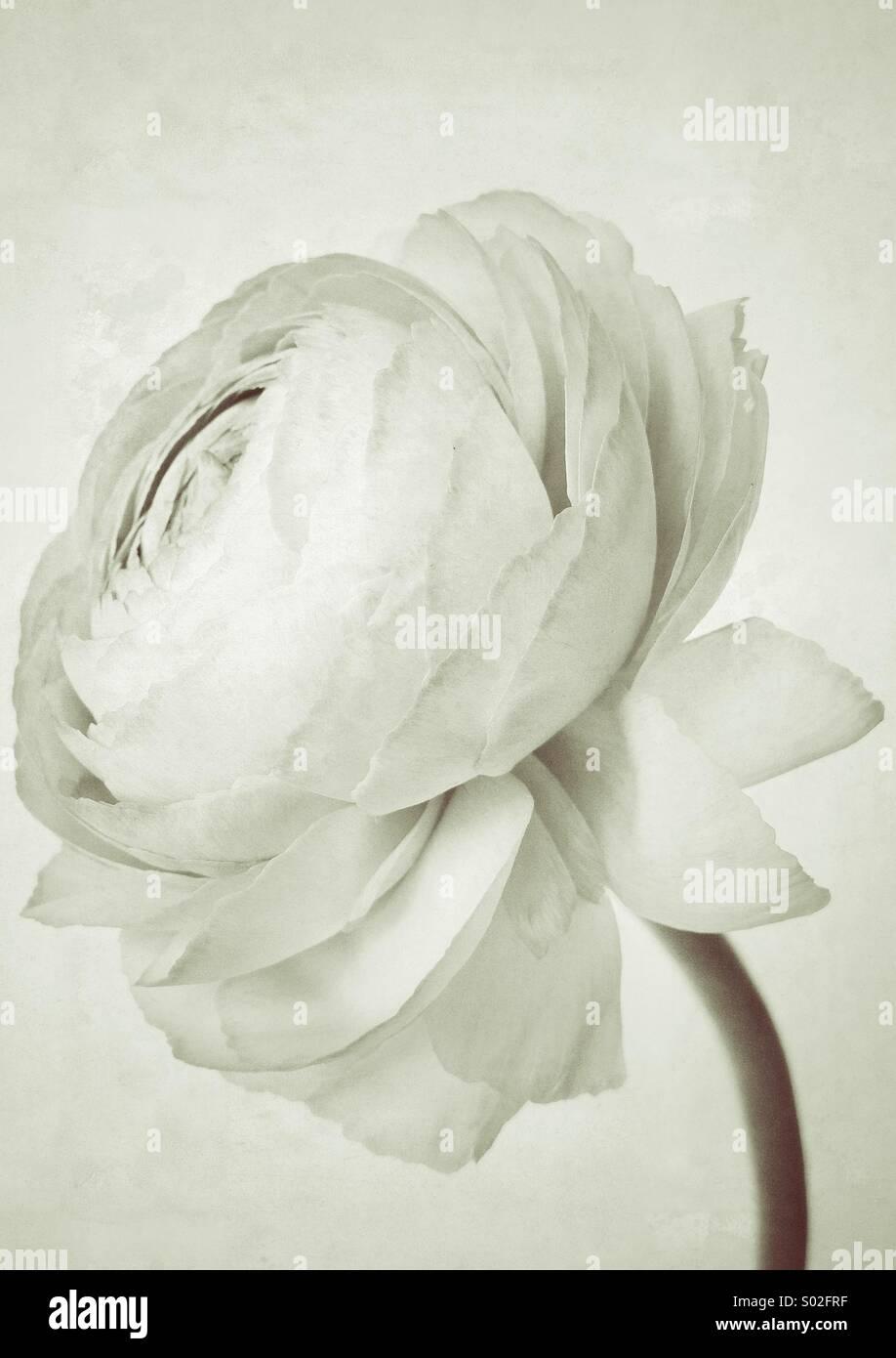 White Ranunculus - Stock Image