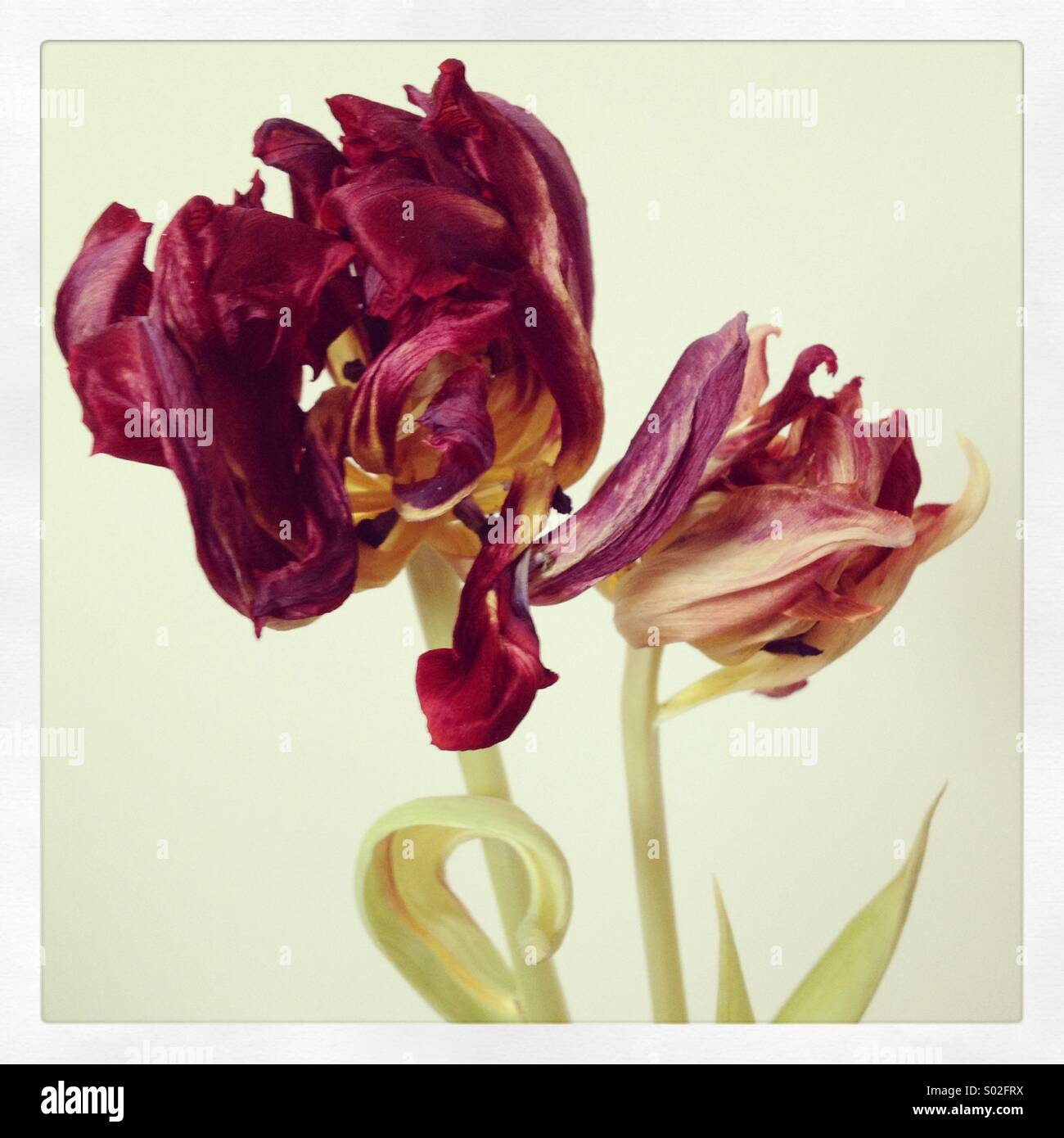 Decaying tulip - Stock Image