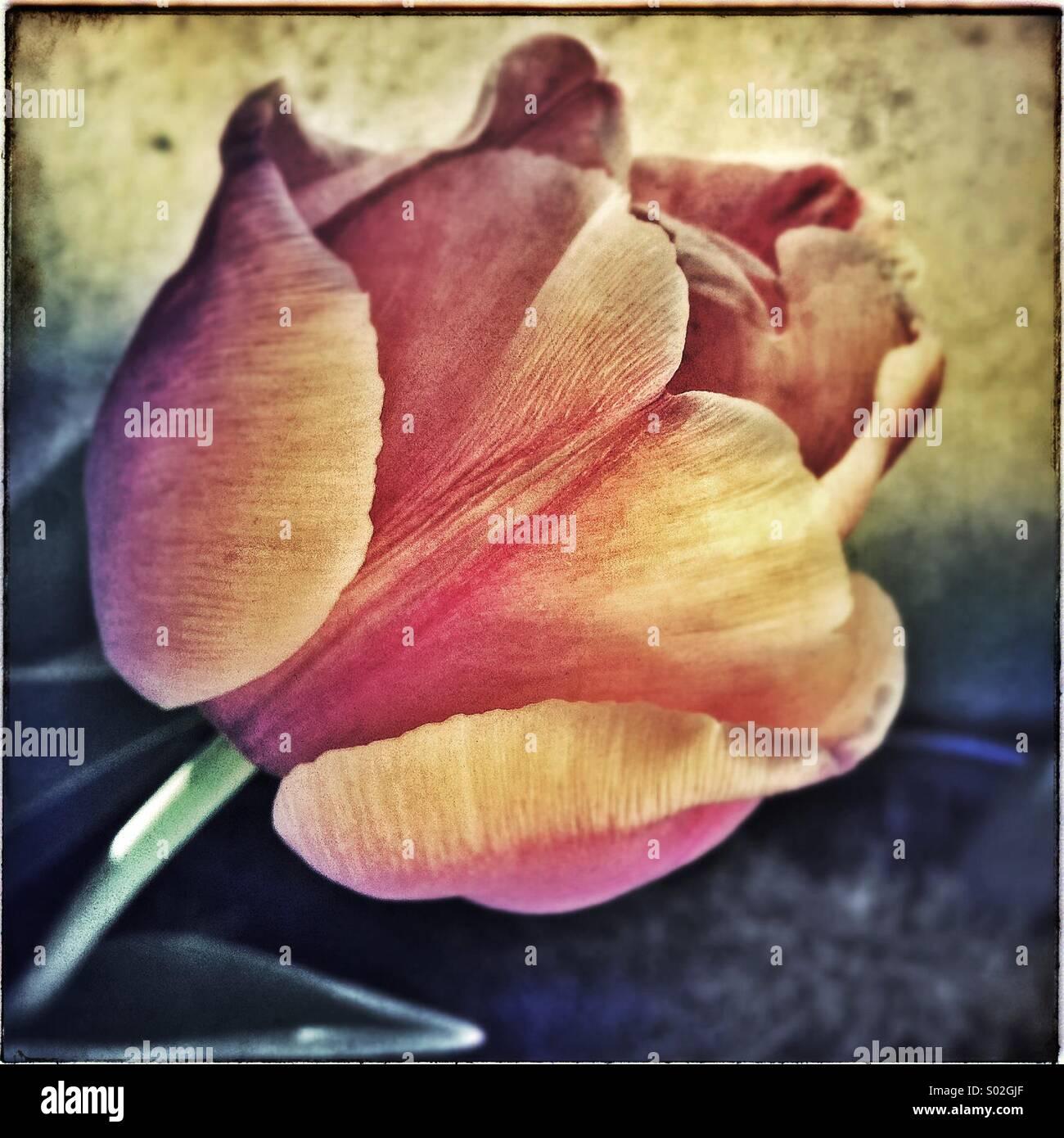 Artistic tulip flower - Stock Image