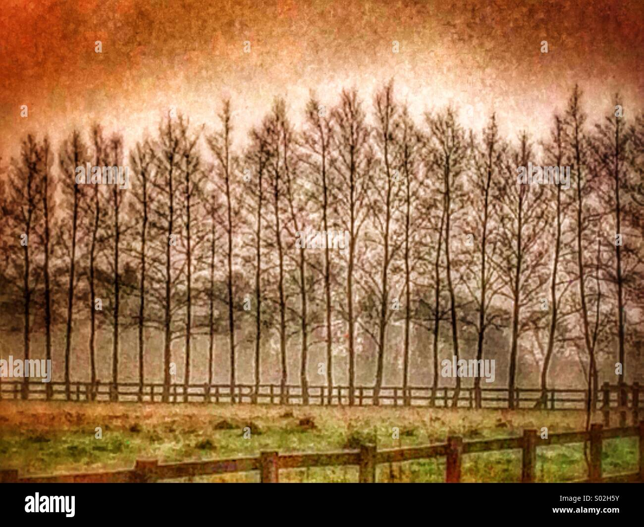 A line of Birch trees at sunset - Stock Image