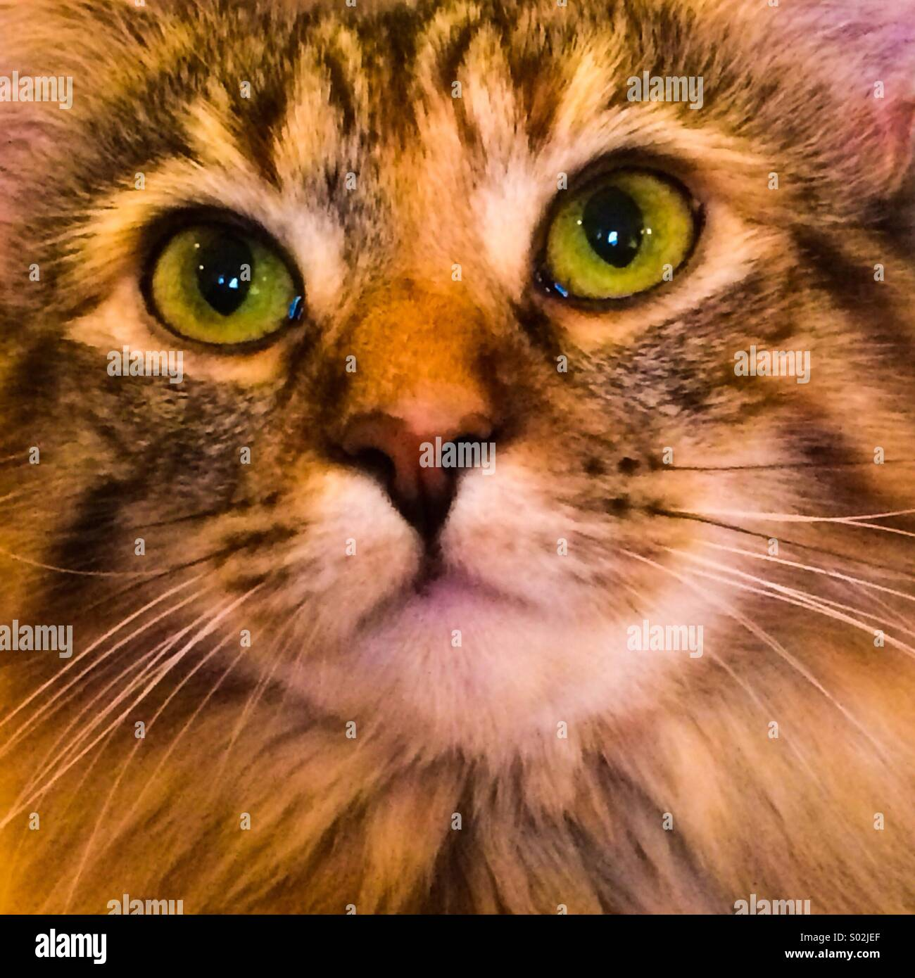 Furry cat with green eyes - Stock Image