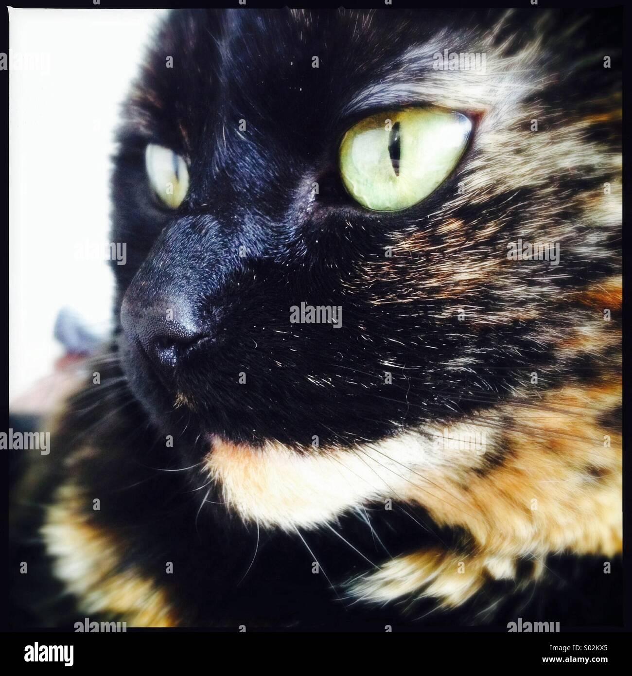 Tortie Cat - Stock Image