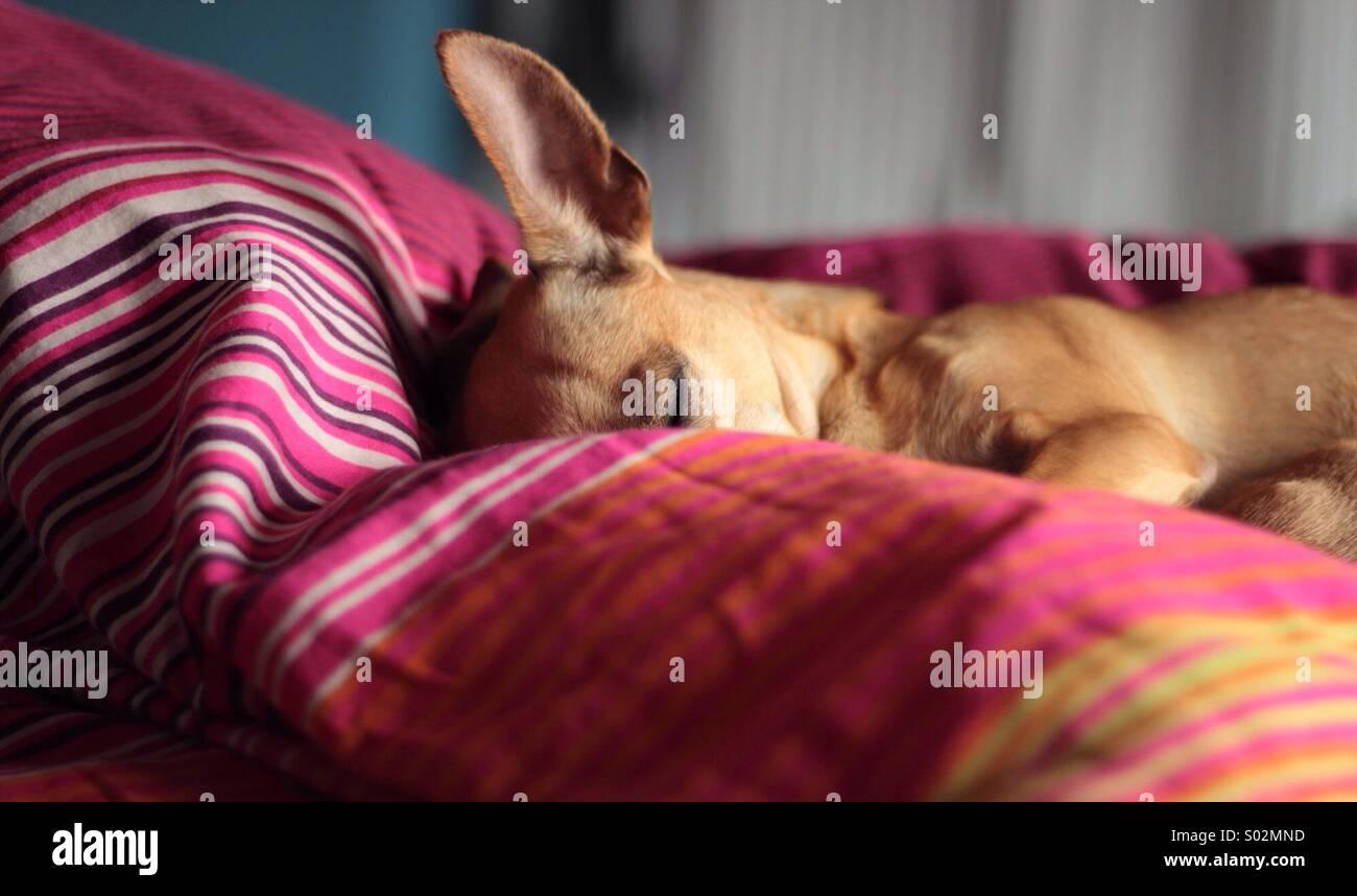 Small dog asleep - Stock Image