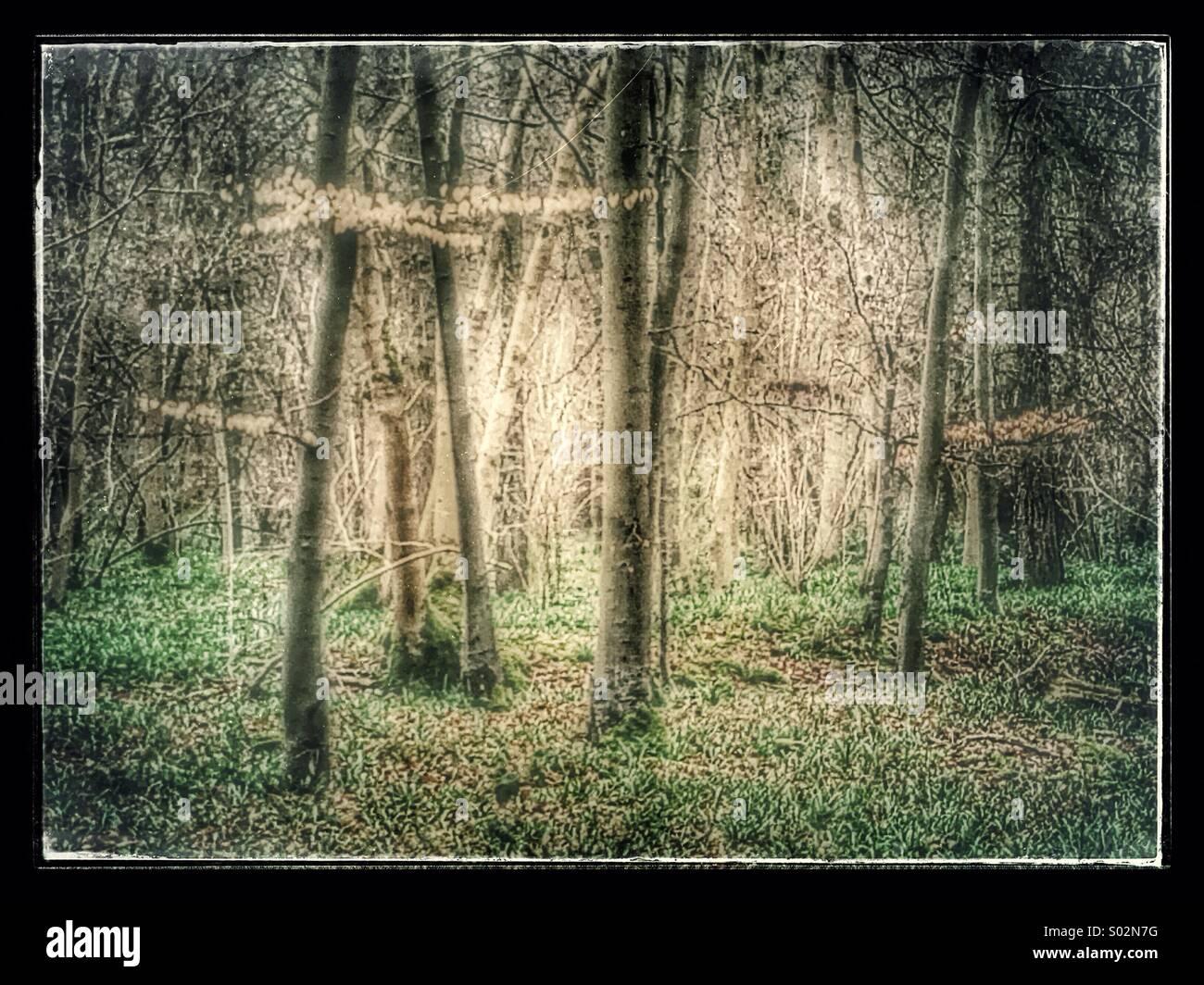 Atmospheric Ancient British woodland - Stock Image