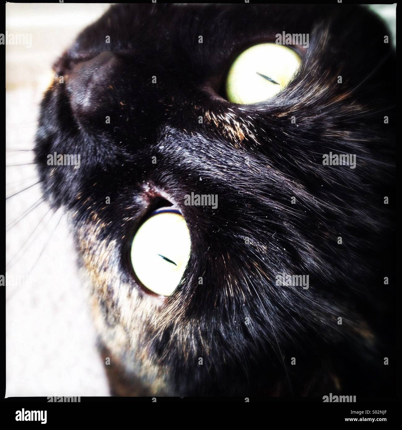 Tortie Cat looking into the Sunlight - Stock Image