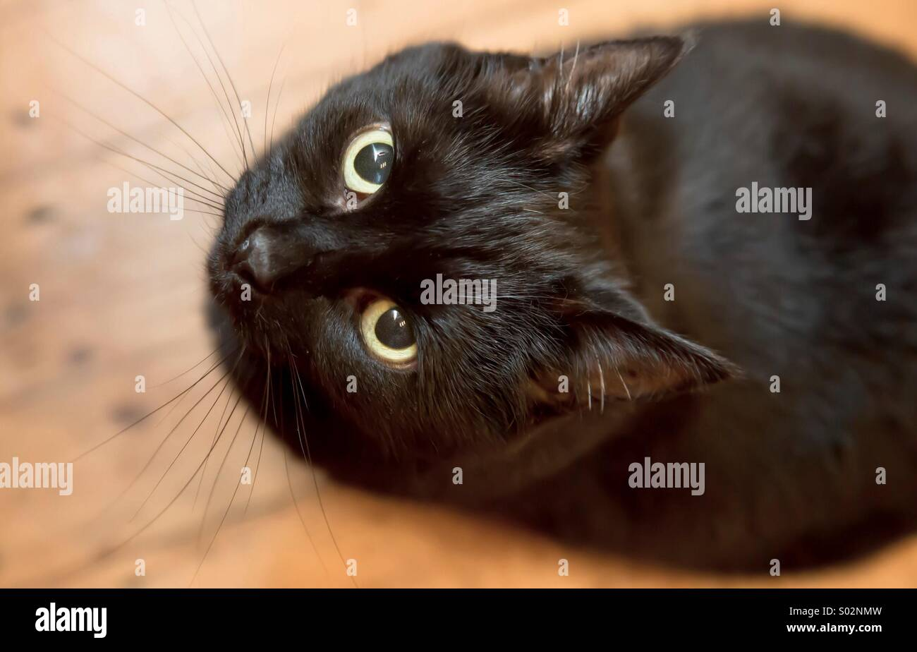 Black cat looking up into lens - Stock Image