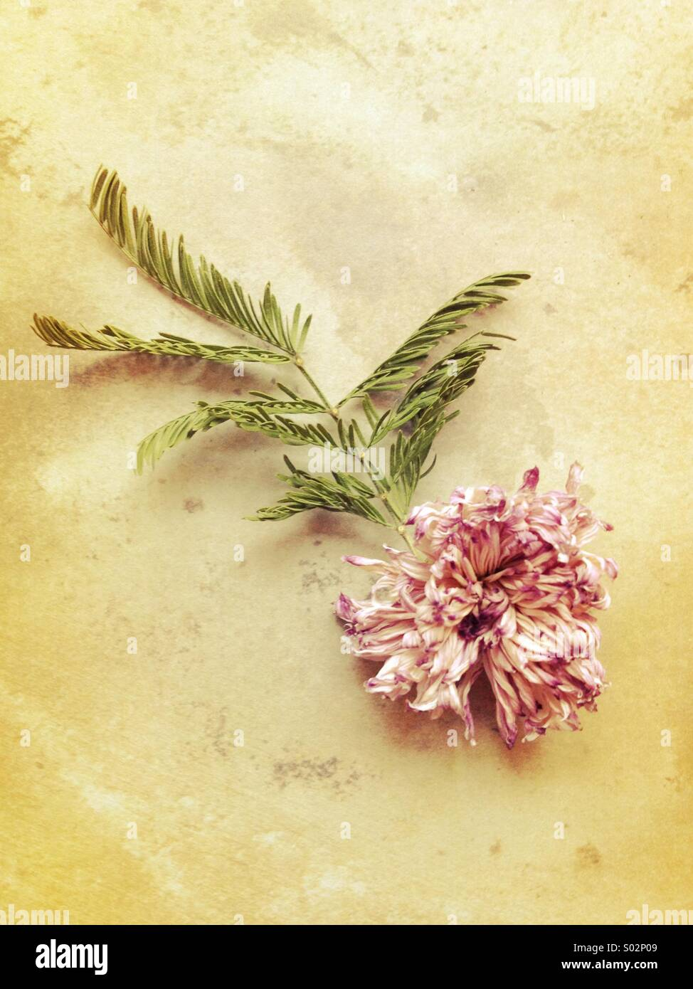 Faded flower - Stock Image