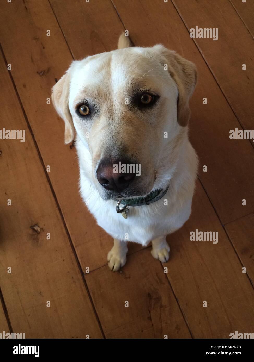 Obedient Labrador - Stock Image