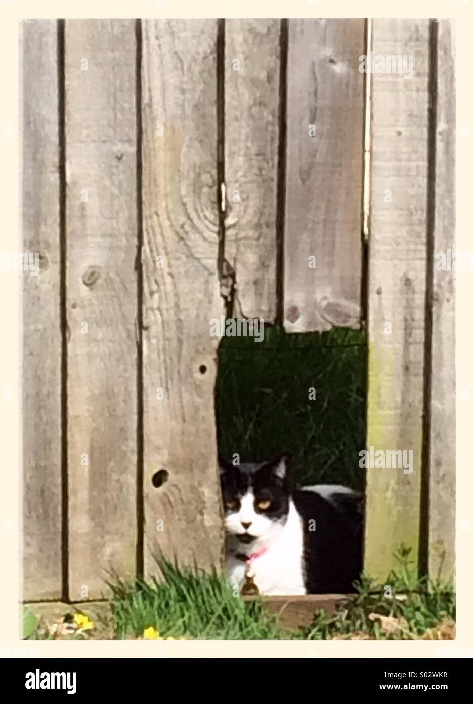 Cat looking through a whole in a wooden fence - Stock Image
