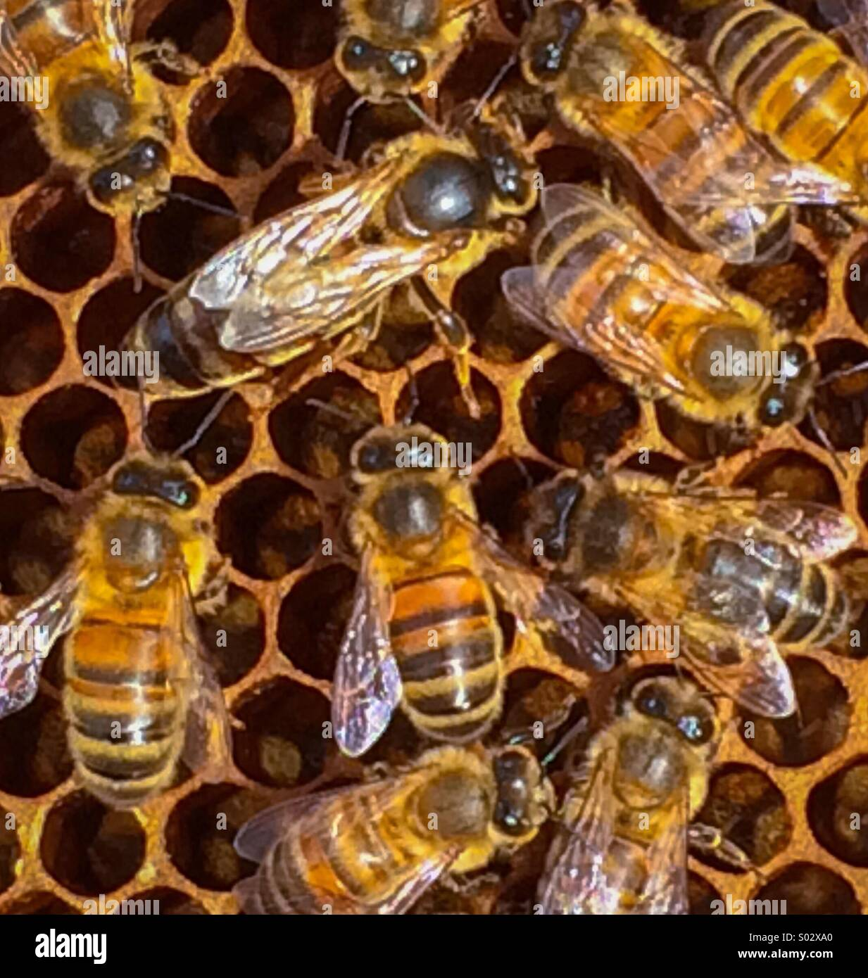 Queen bee in a hive surrounded by worker bees - Stock Image