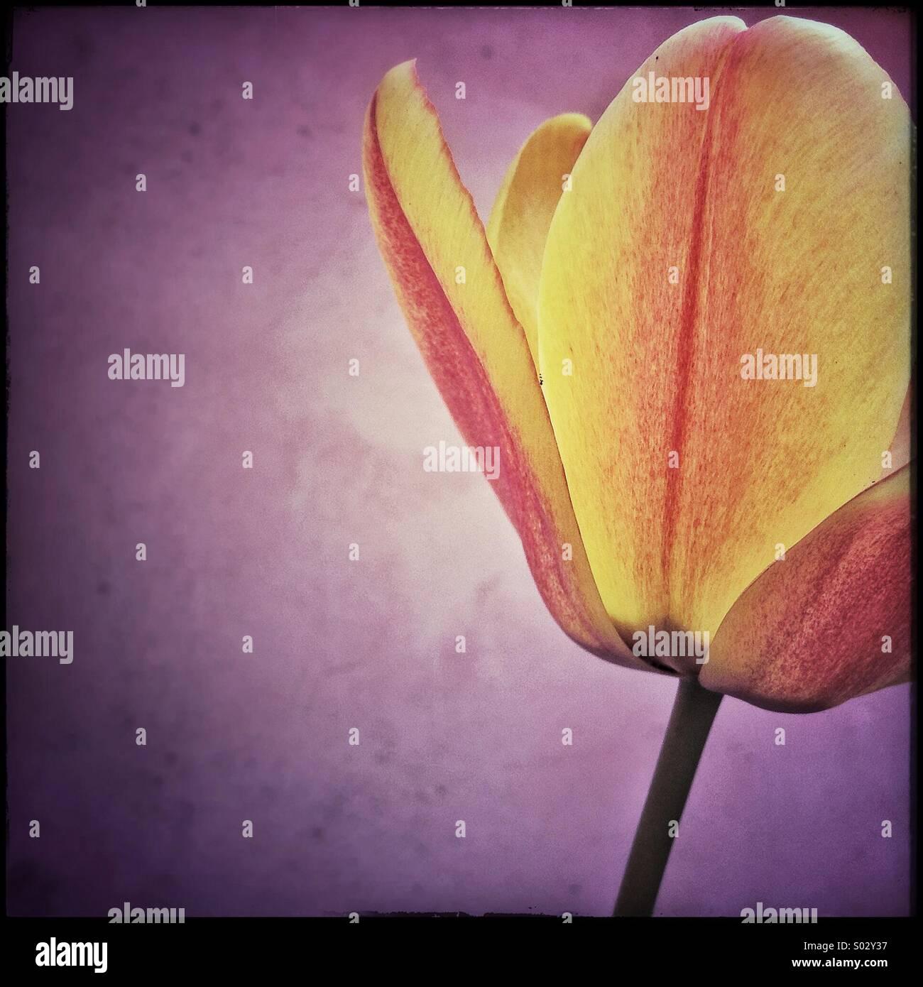 Tulip flower - Stock Image