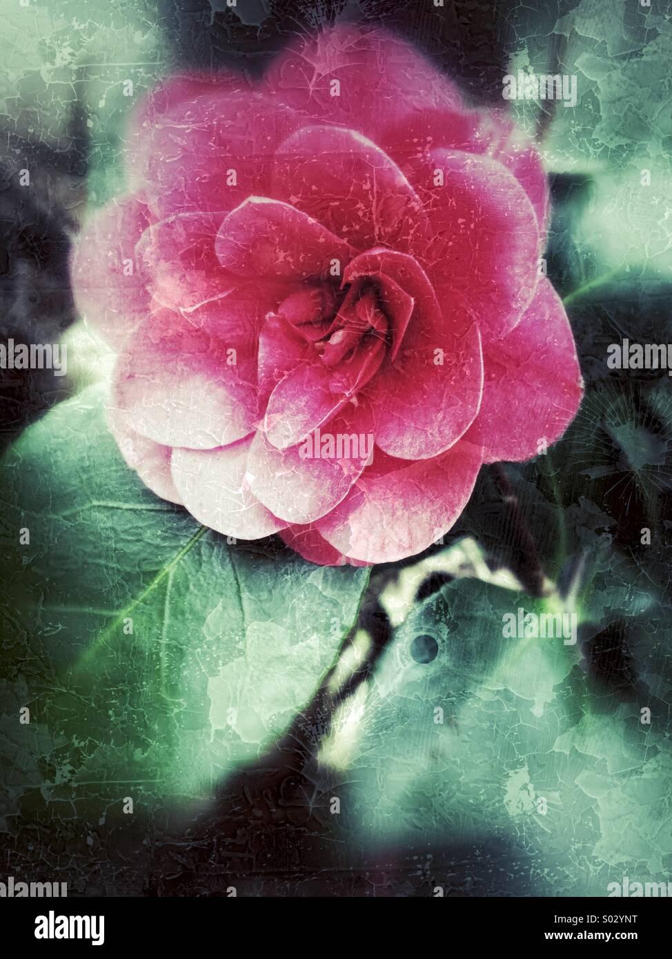 Camellia - Stock Image